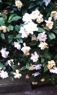 街中に咲く白いクチナシの花
